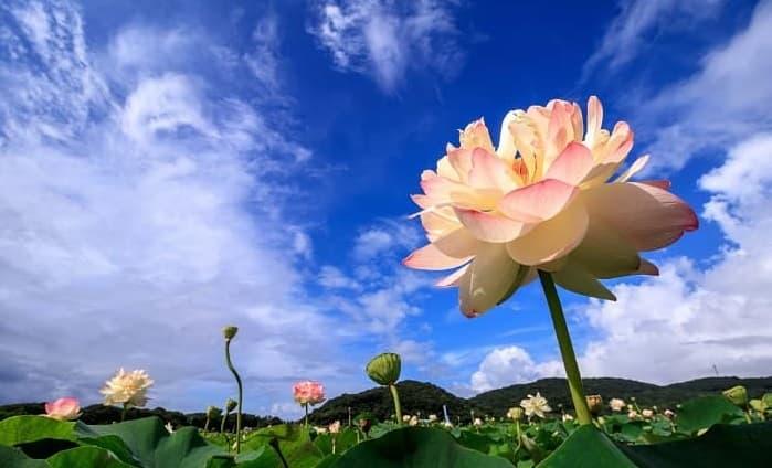 咲き誇る蓮の花